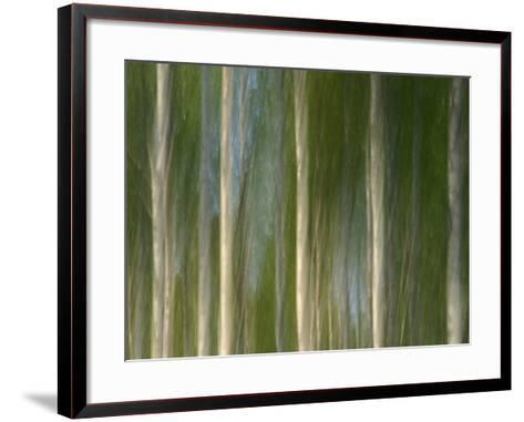 Tall Birch Trees with Pale Trunks and Green Leaves--Framed Art Print
