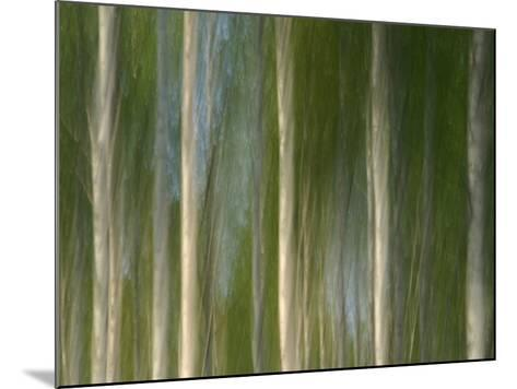 Tall Birch Trees with Pale Trunks and Green Leaves--Mounted Photographic Print