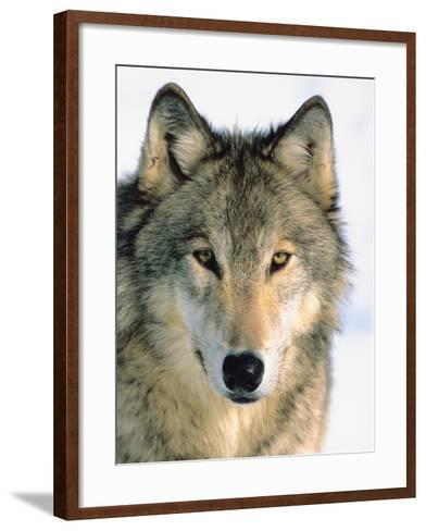 Close Up of Gray Wolf Head in Nature--Framed Art Print
