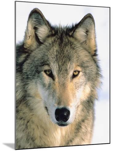 Close Up of Gray Wolf Head in Nature--Mounted Photographic Print