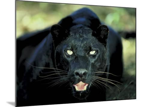 Close Up of Wild Black Leopard Showing Teeth--Mounted Photographic Print
