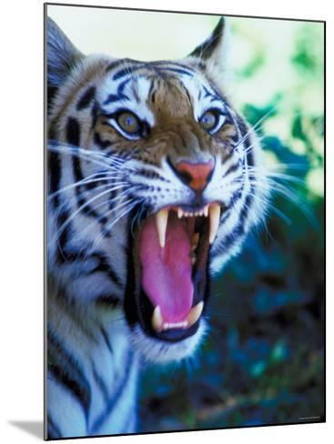 Head Shot of Angry Growling Tiger--Mounted Photographic Print
