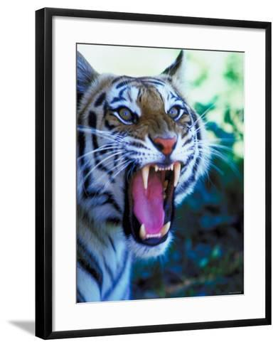 Head Shot of Angry Growling Tiger--Framed Art Print