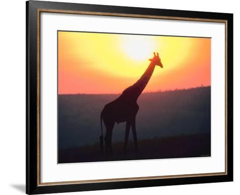 Giraffe Standing in Nature and Silhouetted by Glowing Sunset--Framed Art Print