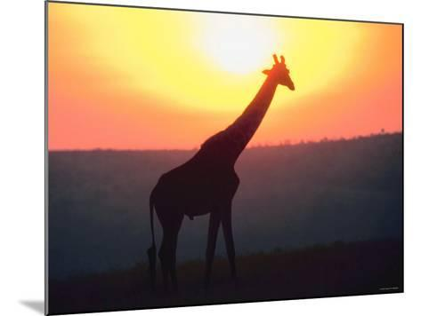 Giraffe Standing in Nature and Silhouetted by Glowing Sunset--Mounted Photographic Print