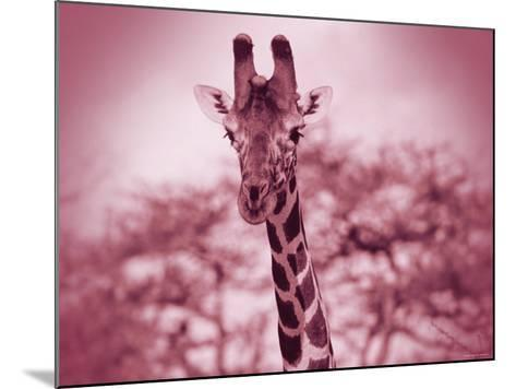 Giraffe in the Wild--Mounted Photographic Print