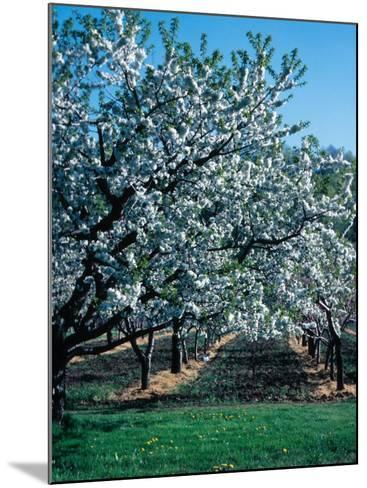 Blossoming Orchard--Mounted Photographic Print