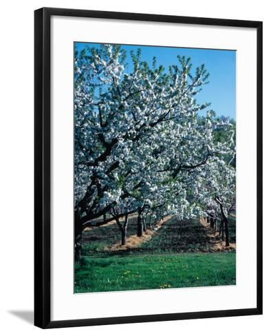 Blossoming Orchard--Framed Art Print