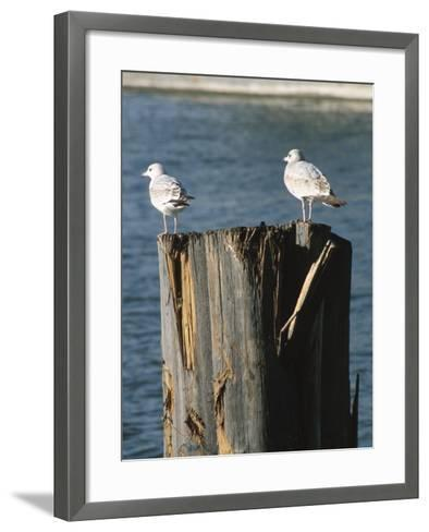 Seagulls on Wet and Rickety Submerged Wooden Posts--Framed Art Print