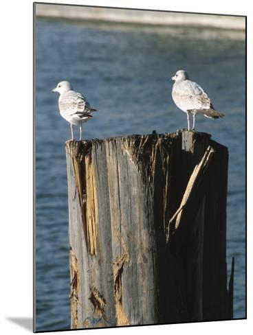 Seagulls on Wet and Rickety Submerged Wooden Posts--Mounted Photographic Print