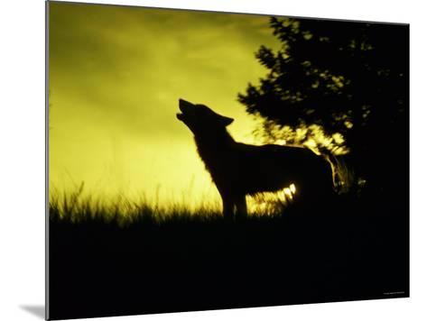 Silhouette of Gray Wolf Standing in Field While Howling--Mounted Photographic Print