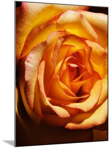 Close-Up of Beautiful Blooming Orange Rose--Mounted Photographic Print