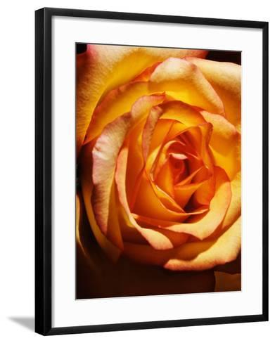 Close-Up of Beautiful Blooming Orange Rose--Framed Art Print