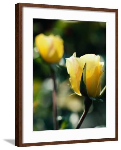 Close-Up of Beautiful Yellow Cultivated Rose--Framed Art Print