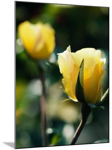 Close-Up of Beautiful Yellow Cultivated Rose--Mounted Photographic Print