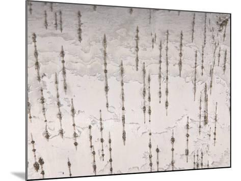 Birch Bark Patterned Background--Mounted Photographic Print