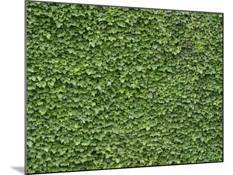 Lush Bright Green Ivy Textured Background--Mounted Photographic Print