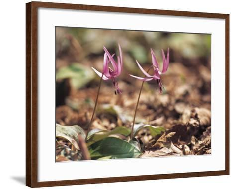 Close-Up of Two Blooming Flowers Growing Amongst Dead Leaves--Framed Art Print