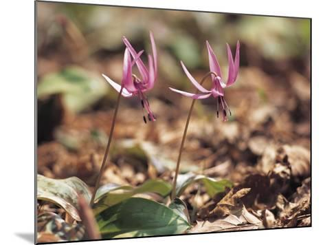Close-Up of Two Blooming Flowers Growing Amongst Dead Leaves--Mounted Photographic Print