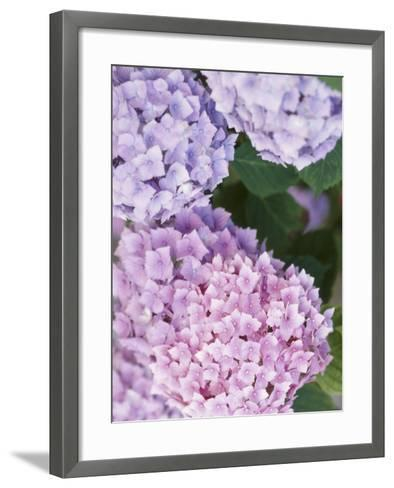 Delicate Pink and Purple Hydrangea Blossoms in Nature--Framed Art Print