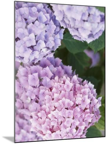 Delicate Pink and Purple Hydrangea Blossoms in Nature--Mounted Photographic Print