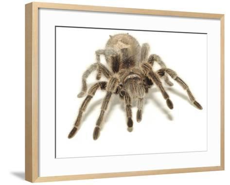 Furry Legs on Crawling Brown Tarantula--Framed Art Print
