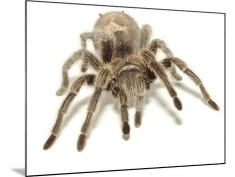 Furry Legs on Crawling Brown Tarantula--Mounted Photographic Print