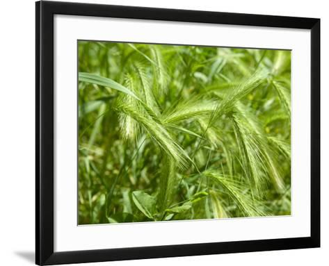 Stalks of Newgreen Wheat--Framed Art Print
