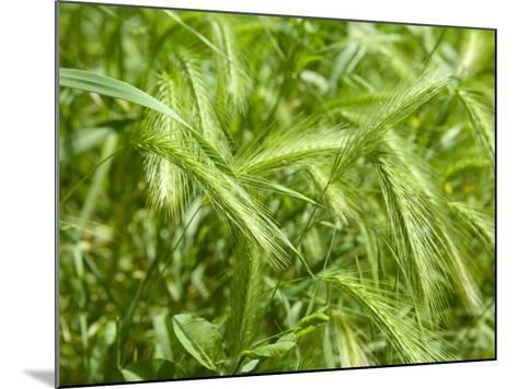 Stalks of Newgreen Wheat--Mounted Photographic Print