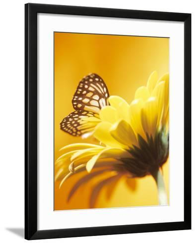 Close-Up Studio Shot of a Delicate Monarch Butterfly Resting on a Yellow Asteraceae Flower--Framed Art Print
