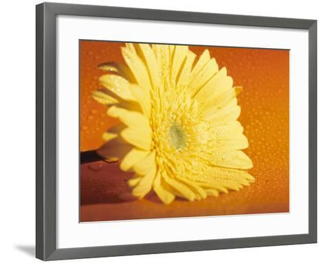 Close-Up of a Bright Yellow Zinnia Flowerhead from the Asteraceae Flower Family--Framed Art Print