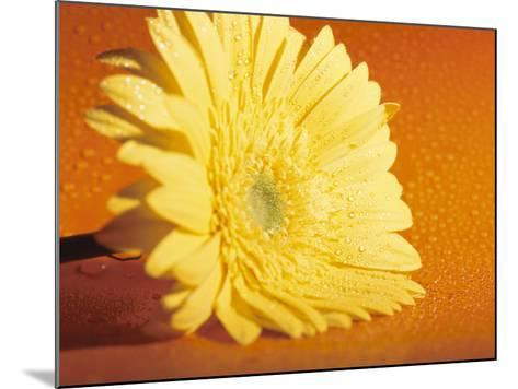 Close-Up of a Bright Yellow Zinnia Flowerhead from the Asteraceae Flower Family--Mounted Photographic Print