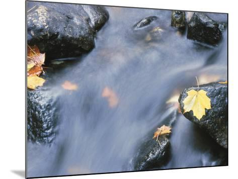 Close-Up of a Stream with Fallen Maple Leaves Caught on the Boulders--Mounted Photographic Print