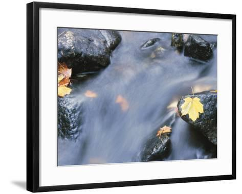 Close-Up of a Stream with Fallen Maple Leaves Caught on the Boulders--Framed Art Print