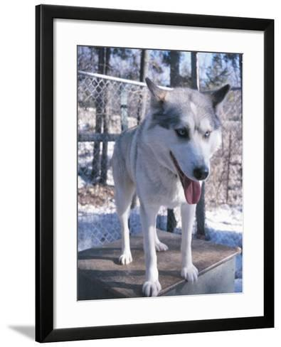 Husky Dog Panting and Standing on Doghouse in Kennel--Framed Art Print
