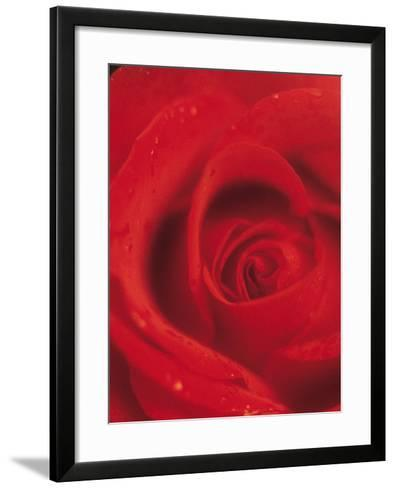 Close-Up of Blooming Petals of Red Rose--Framed Art Print