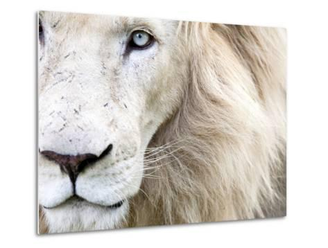 Full Frame Close Up Portrait of a Male White Lion with Blue Eyes.  South Africa.-Karine Aigner-Metal Print