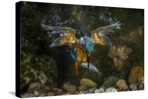Kingfisher Hunting a Fish Underwater-ClickAlps-Stretched Canvas Print