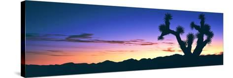 Lone Joshua Tree (Yucca Brevifolia) at Sunrise, Rainbow Basin Natural Area, Near Barstow--Stretched Canvas Print