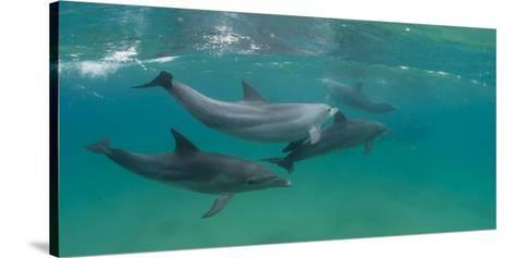 Bottle-Nosed Dolphin (Tursiops Truncatus) Swimming in Sea, Sodwana Bay, South Africa--Stretched Canvas Print