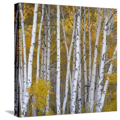 Aspen Trees in a Forest, Boulder Mountain, Utah, Usa--Stretched Canvas Print
