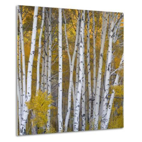 Aspen Trees in a Forest, Boulder Mountain, Utah, Usa--Metal Print
