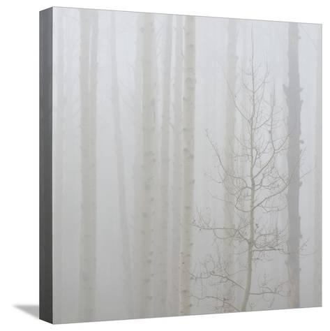 Aspen Trees in a Forest During Fog, Boulder Mountain, Utah, Usa--Stretched Canvas Print