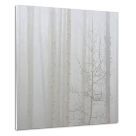 Aspen Trees in a Forest During Fog, Boulder Mountain, Utah, Usa--Metal Print
