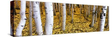 Aspen Grove, Cumbres Pass, San Juan Mountains, Colorado, Usa--Stretched Canvas Print