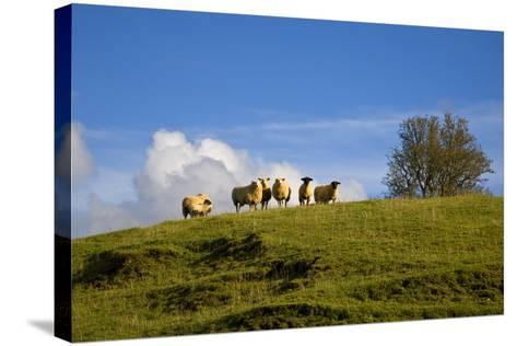 Sheep Near Athenry,County Galway, Ireland--Stretched Canvas Print