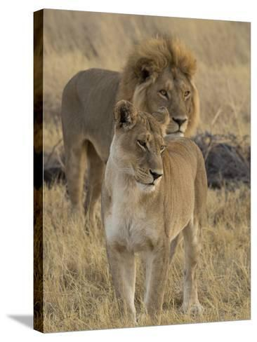 Female and a Male Lions (Panthera Leo) Standing in a Forest, Okavango Delta, Ngamiland, Botswana--Stretched Canvas Print