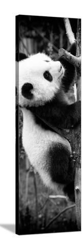 China 10MKm2 Collection - Giant Panda Baby-Philippe Hugonnard-Stretched Canvas Print