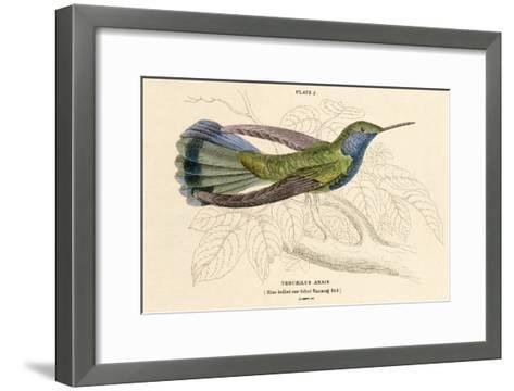 Blue Bellied Hummingbird--Framed Art Print