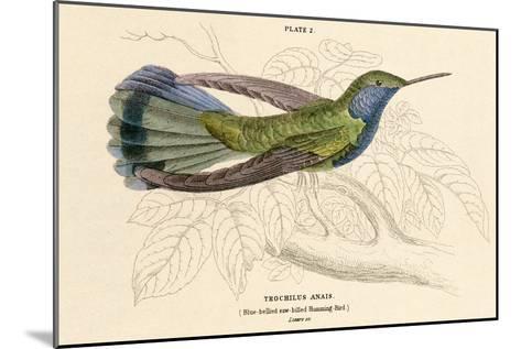 Blue Bellied Hummingbird--Mounted Art Print